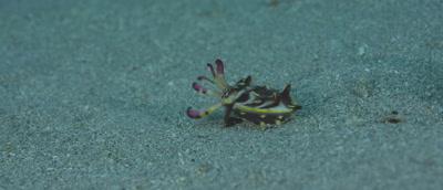 Flamboyant Cuttle Fish, Metasepia pfefferi, walking along bottom flashing colours