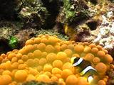 Baby Clownfish In Anemone