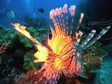 Lionfish Hovering