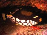 Clown Triggerfish In Cave