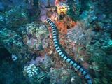 Sea Snake Foraging Reef