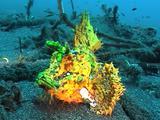 Yellow Mauritius Scorpion Fish