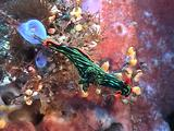 Nudibranch Moves Over Reef
