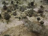 Lizard Fish On Bottom