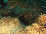 Arrow Crab On Bottom
