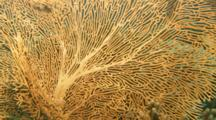 Time Lapse Of Sea Fan Polyps Coming Out To Feed In Current
