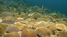 Time Lapse Of Mushroom Corals Inflating Polyps To Feed In Current