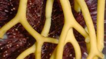 Time Lapse Of Underside Of Purple Sea Urchin Feeding On Giant Kelp