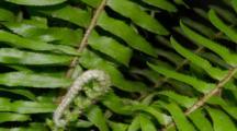 Time Lapse Of Western Sword Fern Growing, New Branch Unfolding