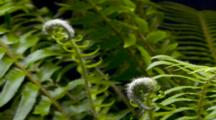 Time Lapse Of Western Sword Fern Growing, New Branches Unfolding, Wide, Track