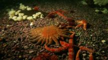 Time Lapse Of Rainbow And Sunflower Sea Stars Moving Over Rocky Bottom