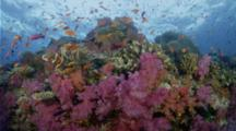 Coral Reef With Soft Corals And Anthias Riding Current, Looking To The Surface