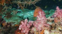 Red Coral Grouper Peeking Out From Behind Soft Coral