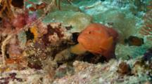 Red Coral Grouper On Coral Reef