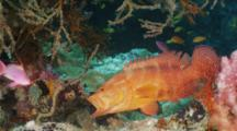 Red Coral Grouper On Coral Reef,  Yawning