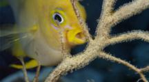 Golden Damsel Grooming Eggs On Sea Fan
