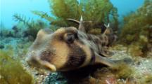 Horn shark California