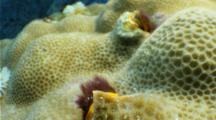 Christmas tree worm emerging from hard coral, unusual perspective , close up and extreme close up