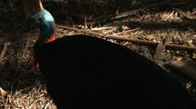 Cassowary Walks On Forest Floor