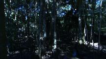 Cassowary In Rainforest, Pan Across Tree Canopy