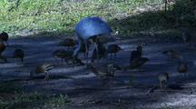 Plumed Whistling Duck  Brolga Feed
