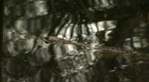 Jabiru + Crocodile At Waterhole - Cu Crocodile