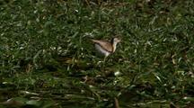 Jacana Runs + Feeds Across Lilly Pads