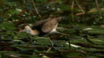 Jacana Runs + Feeds Across Lilly Pads