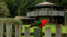 Australian King Parrot Sits & Feeds On Mountain Resort Fence