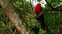 Australian King Parrot Sits In Tree