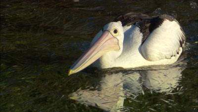 Australian Pelican Fishes In Estuary