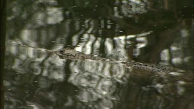Australian Freshwater Crocodile + Jabiru