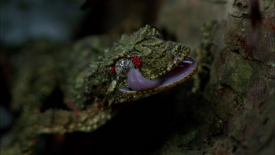 Rainforest Reptile Stock Footage