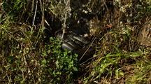 Large Carpet Python Dozes In Grass