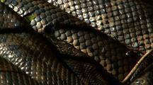 Large Carpet Python Dozes In Grass, Skin Pattern