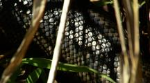Large Carpet Python In Grass, Close-Up Of Skin, Scales