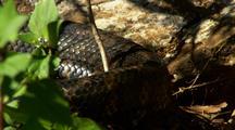 Large Carpet Python On The Move