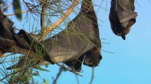 Fruit Bats Hang In Tree, One Spreads Wings