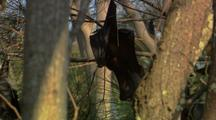 Fruit Bat Hangs In Tree