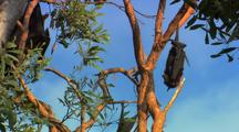 Fruit Bats Hang In Tree