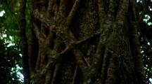 Dense Vegetation In Rainforest, Vines Up Tree Trunk, Possible Strangler Fig