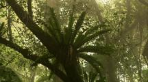 Misty Forest - Staghorn
