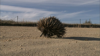 Echidna Walks Along Country Road