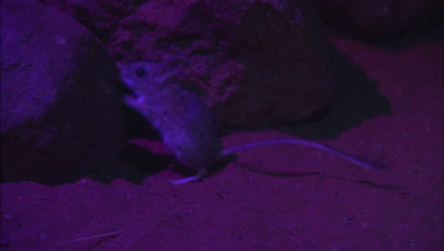 Marsupial Mouse (Unknown Species)