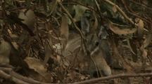 Bridled Nail-Tailed Wallaby