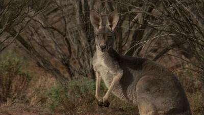Red Kangaroo At Waterhole, Kilcowera Station