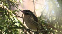 Small Bird, Possibly Honeyeater, In Tree