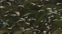 Huge Flock Galah Cockatoos Lands On Ground