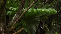 Close Up Large Staghorn Fern In Rainforest