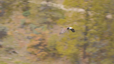 wild bald eagle flying back to its aerie